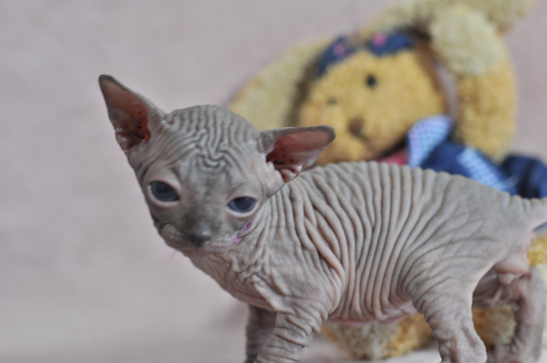 O'Malley chaton mâle 27 jours