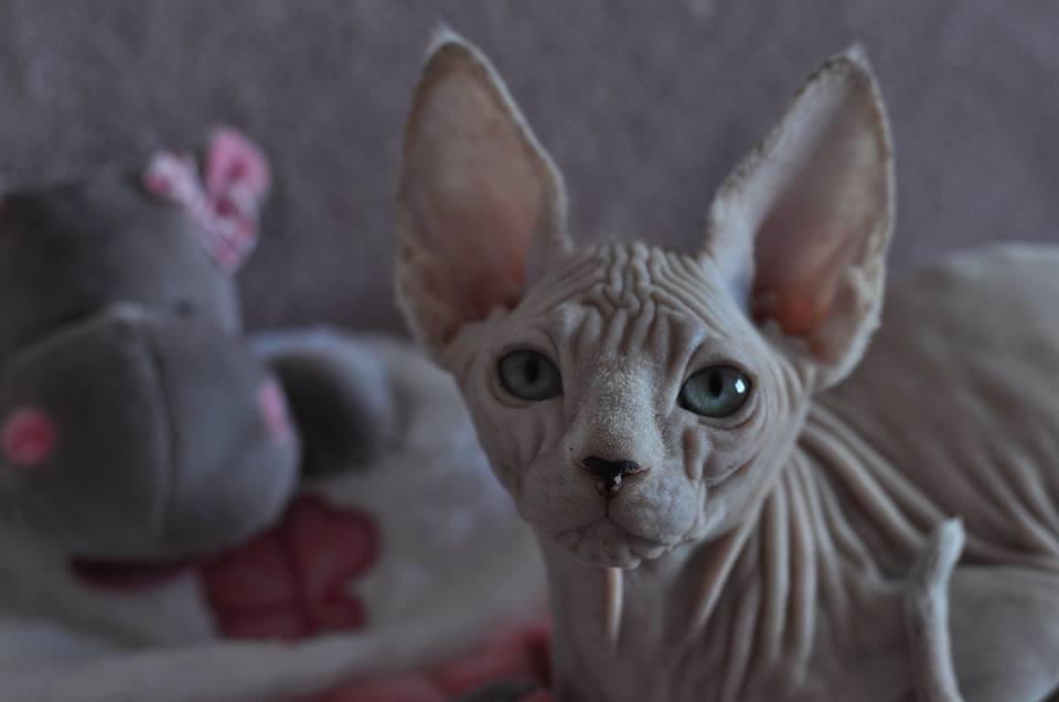 NAUSICAA chaton femelle EST EN OPTION POUR LE MOMENT