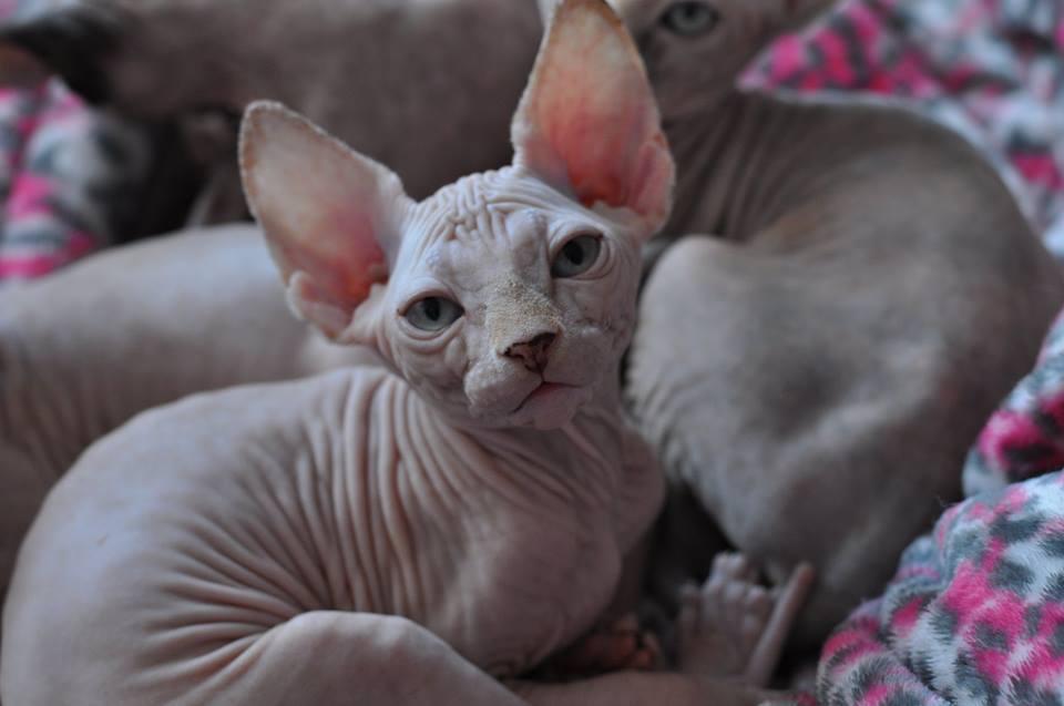 NAYDEN chaton mâle tout en douceur et d'un caractère calme RESERVE pour Andrès et Hélène
