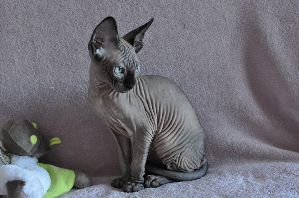 NOVAK chaton mâle de couleur Seal Mink est RESERVE pour Françoise B.