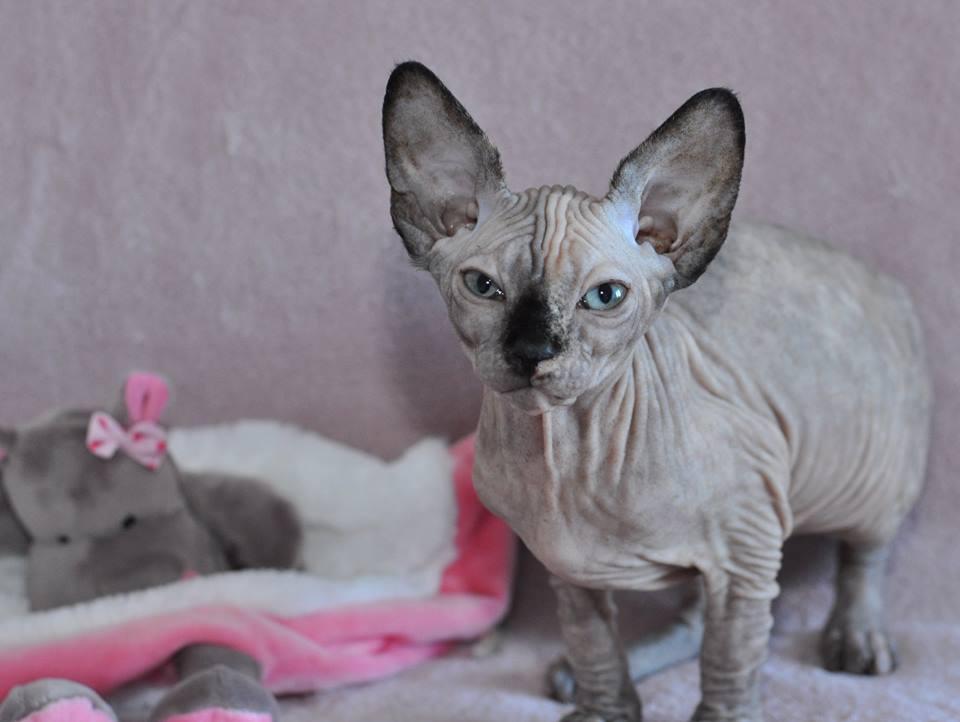 NYMPHEA chaton femelle une petite tortie toute coquine RESERVEE pour Mélanie