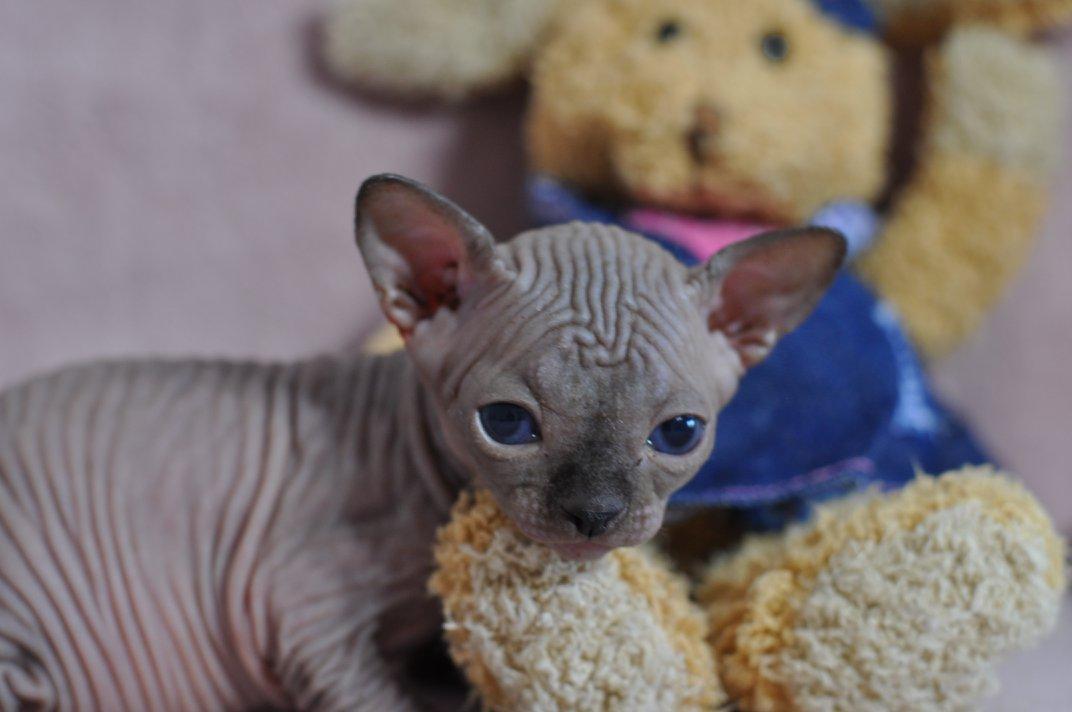 OCK'ONOR chaton mâle 27 jours