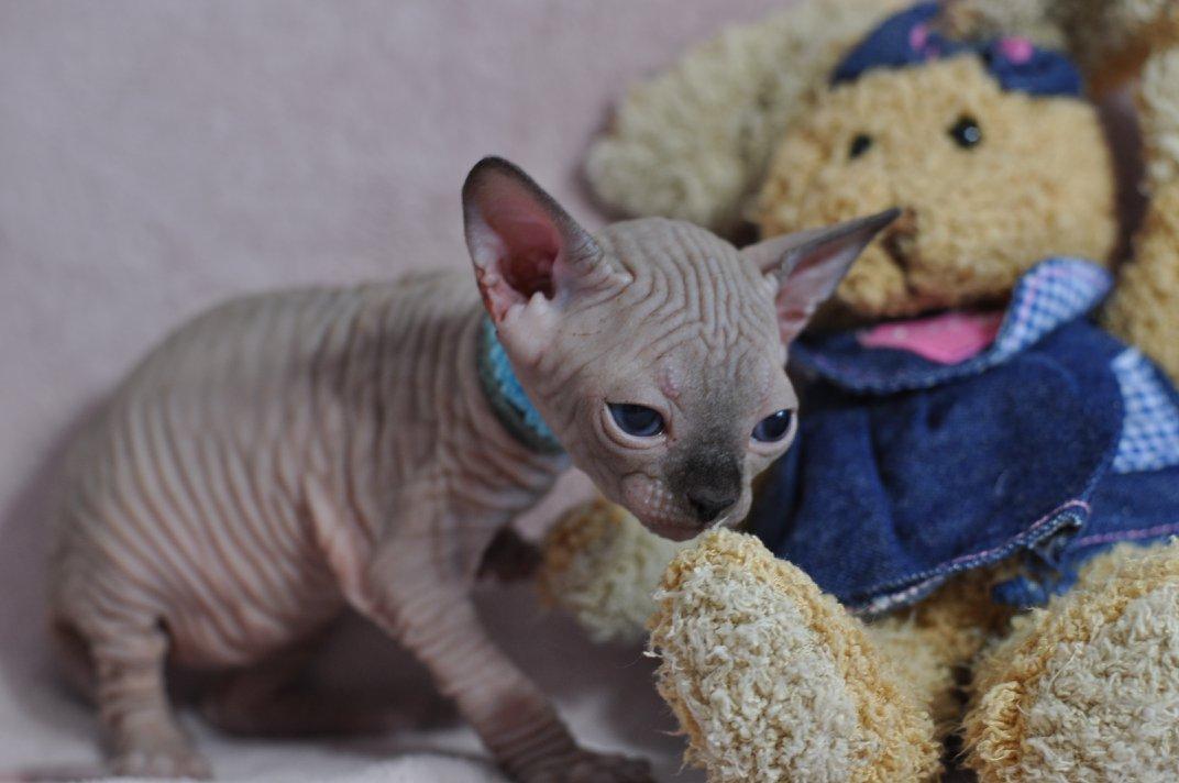 OCTOPUS chaton femelle 27 jours