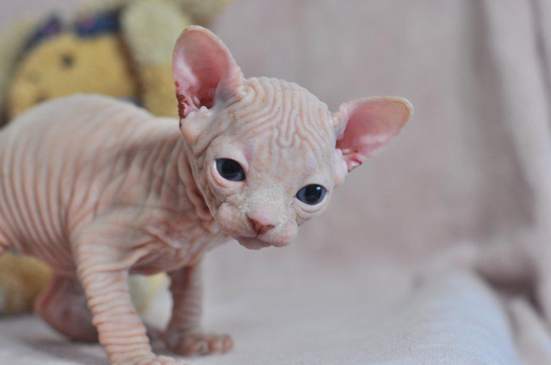 ODIN chaton mâle 27 Jours