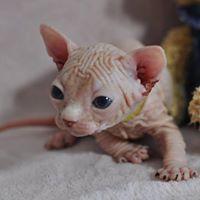 O'THELO chaton mâle 27 jours